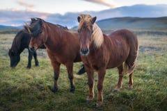 Tre cavalli di sguardo di stordimento fotografia stock