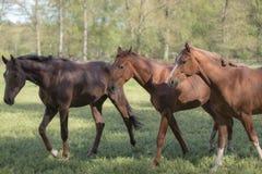 Tre cavalli su un campo, alberi come fondo fotografie stock libere da diritti