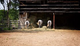 Tre cavalli in un'azienda agricola Immagini Stock Libere da Diritti