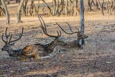 Tre cervi maschii Immagine Stock