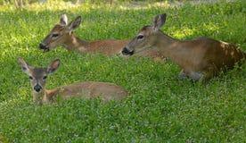 Tre cervi svegli che riposano in un prato con i fiori Fotografia Stock Libera da Diritti