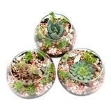 Tre chiari vasi di vetro con le piante. Immagine Stock