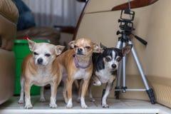 Tre Chihuahuas som tillsammans står Arkivfoton