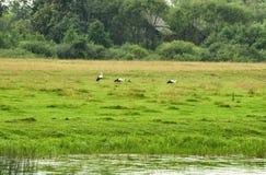 Tre cicogne bianche alla ricerca di alimento di estate Immagine Stock