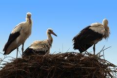 Tre cicogne che si siedono nel loro nido Fotografie Stock Libere da Diritti