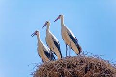 Tre cicogne sull'alto nido Fotografie Stock