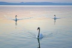 Tre cigni che nuotano sul lago al tramonto Immagini Stock