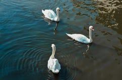 Tre cigni che nuotano in un lago Fotografie Stock