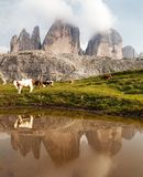 Tre Cime or Drei Zinnen with cows mirroring in lake Royalty Free Stock Photos