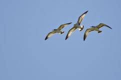 Tre Cirkel-fakturerade fiskmåsar som flyger i en blå himmel Fotografering för Bildbyråer