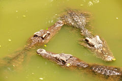 Tre coccodrilli in palude Fotografie Stock