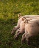 Tre code arricciate dei porcellini Fotografie Stock Libere da Diritti