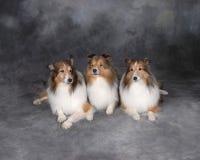 Tre Collies Immagini Stock
