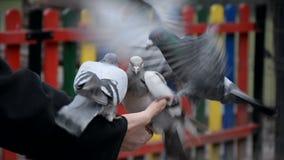 Tre colombe mangiano il grano dalle palme di una donna nel parco stock footage