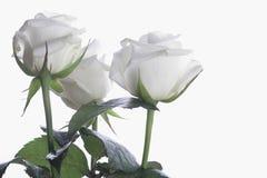 Tre con le rose su thw con bakcround Fotografia Stock Libera da Diritti