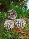 Tre coni del pino Immagine Stock Libera da Diritti