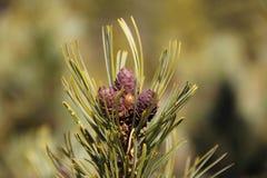 Tre coni del pino Fotografia Stock Libera da Diritti