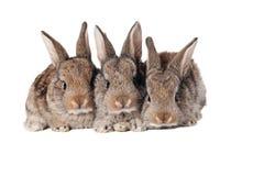 Tre coniglietti svegli Fotografia Stock