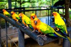 Tre coppie i pappagalli Fotografia Stock Libera da Diritti