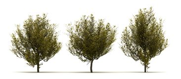 Tre Cornus Mas Tree royaltyfri illustrationer