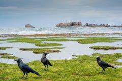 Tre corvi affamati sui coralli Fotografia Stock