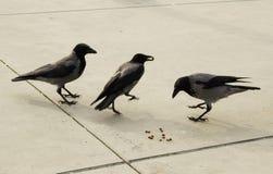 Tre corvi sull'asfalto grigio fotografia stock libera da diritti