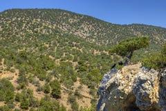 Tre corvi vicino al vecchio ginepro sulla roccia Immagine Stock Libera da Diritti