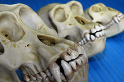 Tre crani animali Fotografia Stock