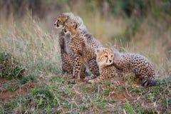 Tre cubs del ghepardo Fotografia Stock