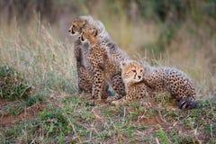 Tre cubs del ghepardo Immagini Stock Libere da Diritti