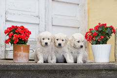 Tre cuccioli adorabili di golden retriever Immagine Stock