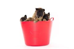 Tre cuccioli belgi di Tervuren del pastore Fotografia Stock