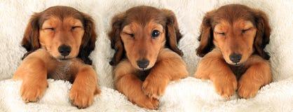 Tre cuccioli del bassotto tedesco immagine stock libera da diritti