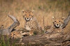 Tre cuccioli del ghepardo che si trovano dietro il ceppo morto immagini stock libere da diritti