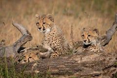 Tre cuccioli del ghepardo si trovano dietro il ceppo morto fotografia stock