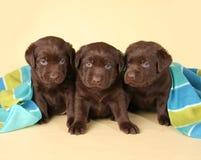 Tre cuccioli del laboratorio Immagine Stock Libera da Diritti