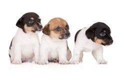 Tre cuccioli del terrier di russell della presa su bianco Fotografia Stock