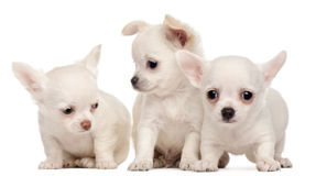 Tre cuccioli della chihuahua, 2 mesi Fotografie Stock Libere da Diritti