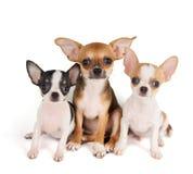 Tre cuccioli della chihuahua Fotografie Stock