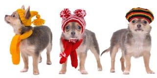 Tre cuccioli della chihuahua con le sciarpe ed i cappelli Immagine Stock