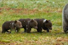 Tre cuccioli di orso bruno Fotografia Stock Libera da Diritti