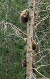 Tre cuccioli di orso bruno d'Alasca Immagine Stock