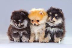 Tre cuccioli di Pomeranian Fotografia Stock Libera da Diritti