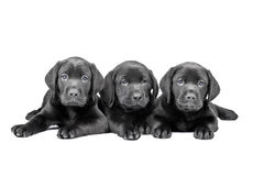 Tre cuccioli neri del laboratorio Fotografia Stock