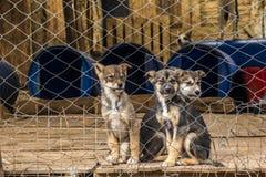 Tre cuccioli siberiani del pastore in un'azienda agricola rinchiusa del cane fotografia stock