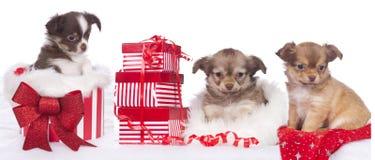 Tre cuccioli svegli della chihuahua con il regalo di natale Fotografia Stock Libera da Diritti