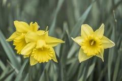 Tre daffodils gialli fotografia stock