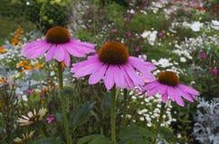 Tre dekorativa blommor på blom- bakgrund Trädgård i Lettland Royaltyfri Fotografi