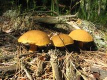 Tre del fungo in Taiga Fotografie Stock