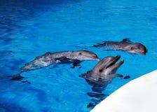 Tre delfini Immagine Stock